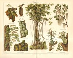 1903 Epiphytes, Ant Plant, Urn Plant, Sacred Fig, Bulbous Airplant, Staghorn Fern, Spanish Moss Original Antique Chromolithograph