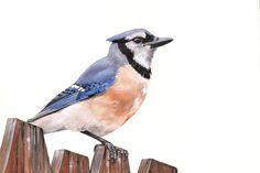 Blue Jay Watercolor painting print of watercolor por LouiseDeMasi