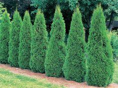 Fast growing shrubs Arborvitae trees in a garden (Thuja occidentalis Smaragd) Arborvitae Landscaping, Arborvitae Tree, Landscaping Trees, Privacy Landscaping, Hydrangea Landscaping, Evergreen Shrubs, Trees And Shrubs, Evergreen Trees For Privacy, Gardens