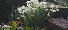 Special Snowdrop Gardens, Talks, Events, and Open Days for 2018 - Pumpkin Beth