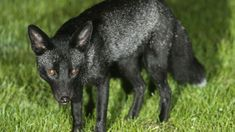 Rare Black Fox Caught On Camera, But Do You Know The Reason Of That Color?