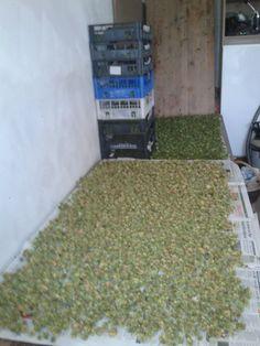 400g of dry Phoenix hop