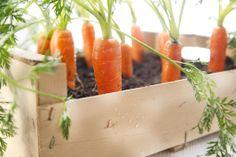 Come coltivare le carote in vaso sul balcone