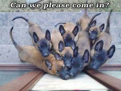 These extra-wholesome dog memes are giving us new life. Check out some of our favorite dog memes now and don't forget to pin your favorite! Read More: Funny Animal Memes Of The Day - 32 Pics Funny Dog Memes, Funny Animal Memes, Funny Dogs, Funny Animals, Cute Animals, Berger Malinois, Belgian Malinois Dog, I Love Dogs, Cute Dogs