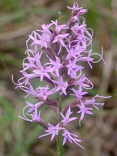 Liatris Acidota, Kisatchie NF, Louisiana, bog flower