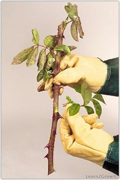 Grow more roses with cuttings