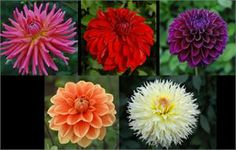 "$27.95 Five of the best dahlias we know you can't live without! Great for cut flowers and gorgeous garden plants!   Bloom size range 5"" to 6"" Plant height range 4' to 4 1/2'   780 FABULOUS FIVE COLLECTION:   Tutti Frutti - Coral Pink Teddy - Soft Orange American Beauty - Red Citron De Cap - Soft Yellow / Rose Diva - Dark Purple"