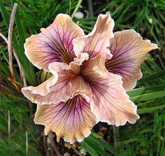 "Iris x douglasiana ""Mixed Hybrids"""