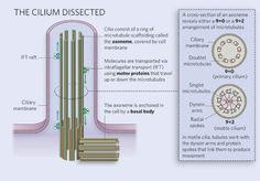 A labeled schematic diagram shows the structure of the primary cilium. The organelle is depicted as a vertical, cylinder-shaped, cellular protrusion. A ciliary membrane forms the outline of the cylinder; inside the membrane, nine vertical rectangles are arranged in a hollow, ring-shaped configuration. The rectangles represent microtubules, and the ring-shaped arrangement is called an axoneme. Green spheres attached to beige rectangles represent molecules attached to intraflagellar transport…