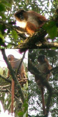 Palm Oil Plantations Threaten African Primates - Scientific American