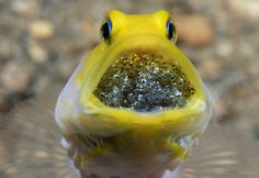 A male yellow-headed jawfish