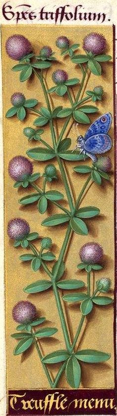 Treuffle menu - Species triffolium (Trifolium arvense L. = trèfle, pied-de-lièvre) -- Grandes Heures d'Anne de Bretagne, BNF, Ms Latin 9474, 1503-1508, f°69v