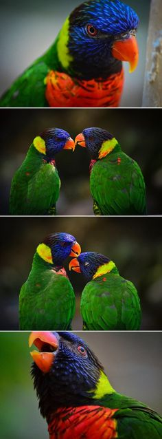 Lorikeet #love by Rachel Pollard