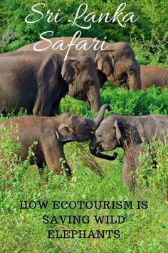 Sri Lanka Safari-How Ecotourism is Saving Wild Elephants