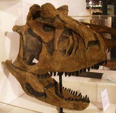 1050px-Carnotaurus_sastrei_22.jpg (1050×1024) - Dinosauria, Saurischia, Theropoda, Ceratosauria, Abelisauridae, Carnotaurinae. Auteur : Ghedo, 2011.