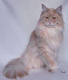 Cream Silver (Cameo) Mackerel Tabby