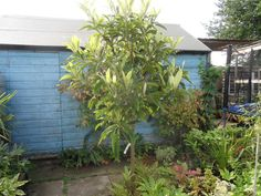 The Loquat (Eriobotrya japonica) is a small evergreen tree with large tropical looking leaves that can be grown in the UK. Fence Plants, Garden Plants, Loquat Tree, Evergreen Trees, Edible Garden, Garden Design, Tropical, Lungs, Canning