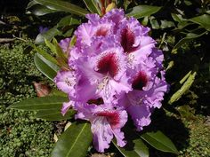 Thank you for taking a look at one of our several hundred Hybrid Rhododendrons we have for sale on Etsy and our website! At RhododendronsDirect.com, all we do is Rhododendrons!     Product Description      Bloom Color:  Purple    Bloom Season: Mid- Season    Plant Height(potential in 10 years): Five Feet    Hardy to:  -10      Container Size/Age:  Two Gallon Plant -  These rhododendrons are typically rooting into a two gallon container or have spent one year as a field grown plant. They can…