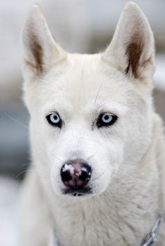 Huskey... Want a white one and tried once but, Mya but, mostly Lobo wouldn't have it. :-( selfish spoiled puppies.