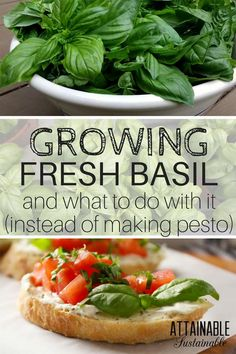 Fresh basil is a must-have for my garden, creating a source of never ending leaves. But plant some for the bees, too - they absolutely love it! Here's what you need to know about growing basil, how to harvest basil, and how to use basil in your kitchen.