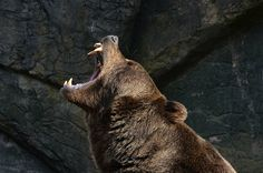 Brown bear - Grizzly-Bear