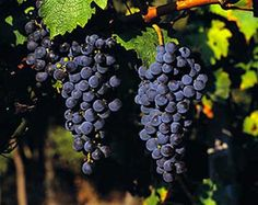 The ubiquitous Cabernet Sauvignon.  This grape is the child of Cabernet Franc and Sauvignon Blanc.