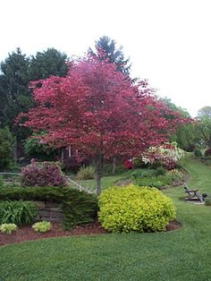 Tri Color Beech Tree Problems | Tri-colored Beech with Lime MoundSpirea.