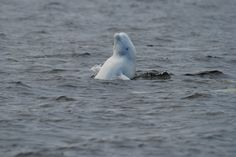 All sizes | IFAW Beluga Whales | Flickr - Photo Sharing!
