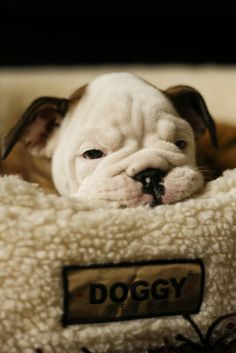 I'm spamming my mom with bulldog pictures in hopes that she will concede to getting me one as a graduation gift.