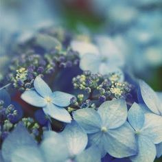 Hydrangeas are my favorite, the variety is stunning...blues, pinks, lavender, white. I am awed by God's creation.