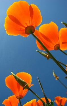 Orange California poppies against blue sky Colorful Roses, Orange Flowers, Wild Flowers, Beautiful Flowers, Ranunculus Flowers, Poppy Flowers, Fresh Flowers, Orange California, Orange Poppy