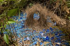 Birds are Awesome Male Bower Birds construct/decorate a bower to attract the female bird.Male Bower Birds construct/decorate a bower to attract the female bird. Beautiful Love, Animals Beautiful, Arte Elemental, Nester, Especie Animal, Australian Birds, Animal House, Land Art, Natural World