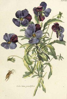 Viola lutea grandiflora.  Illustration taken from 'Nederlandsch Bloemwerk.'  Published in Amsterdam 1794 by T. B. Elwe.  Harvard Botany Libraries.