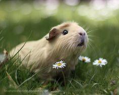 Guinea pig in nature by *lieveheersbeestje on deviantART