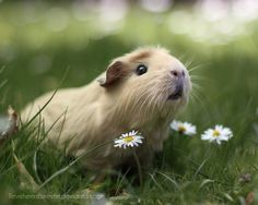 Almost unbearably cute guinea pig.