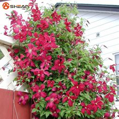 Red Clematis Seeds Potted Clematis Climbing Flower Seeds 300 particles / bag