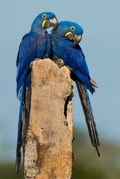 Photo Hyacinth Macaw (Anodorhynchus hyacinthinus) by Octavio Campos Salles