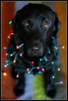 Holiday Pup! This is so bright & festive! Black Labrador Retriever / Pet Photography / Dog / Lab / Puppy / Christmas