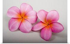 Two pink fragrant plumerias - greatbigcanvas.com