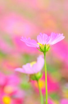 Can a cosmos capture the perfection of pink?  Apparently!