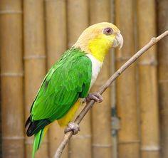 Marianinha-de-cabeça-amarela (Pionites leucogaster)