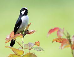 Foto bigodinho (Sporophila lineola) por Lucas Valério | Wiki Aves - A Enciclopédia das Aves do Brasil