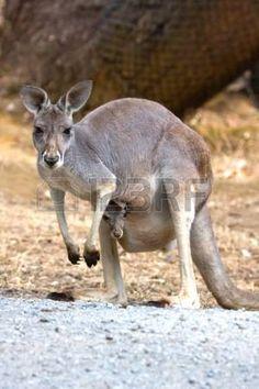 """Képtalálat a következőre: """" legelő kenguru """""""
