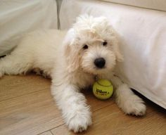 A Beautiful Teddy Bear Goldendoodle #englishGoldendoodle