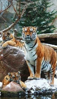 Three Beautiful Tigers !!