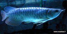 arrowana fish pictures   دوشنبه بیست و پنجم دی 1391به قلم: abbas2013 ™