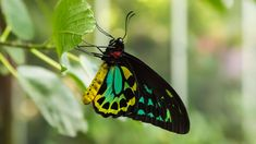#animal #black #butterfly #colorful #cute #fauna #forest #green #insect #natural #nature #pattern #photography #tropical #wildlife #yellow #zoo