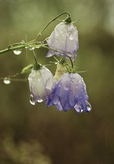 Harebells (Campanula rotundifolia) by Elmor O'sidhe -