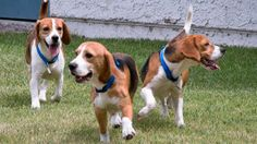 #storie - I #beagle non avevano mai provato l'emozione di essere amati e di essere al sicuro.
