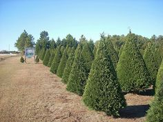 10 tips to start a christmas tree farm to make money christmas tree farm christmas tree and farming - How To Start A Christmas Tree Farm
